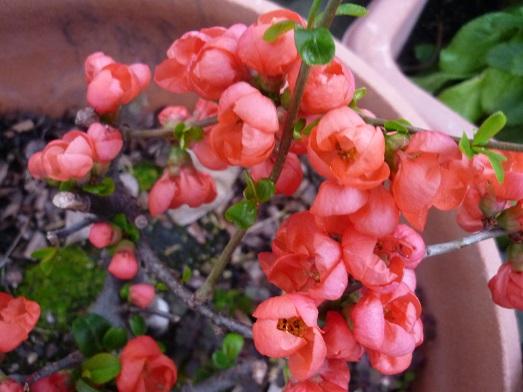ボケの花2.JPG