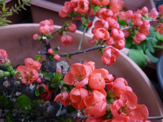 ボケの花4.JPG