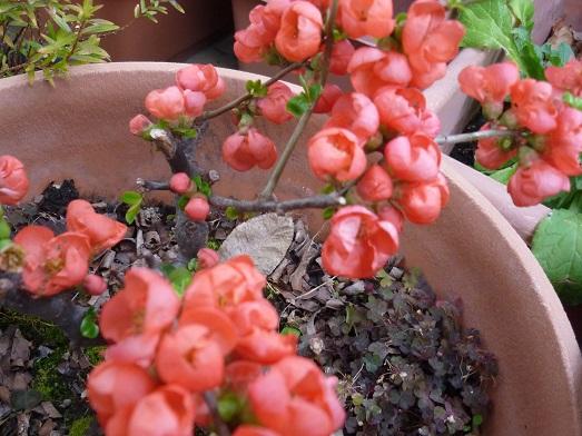 ボケの花6.JPG