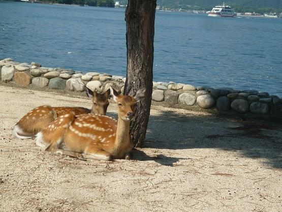宮島の鹿 (1).JPG