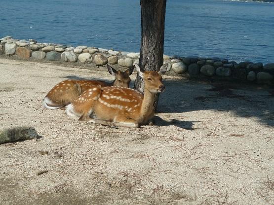宮島の鹿 (2).JPG