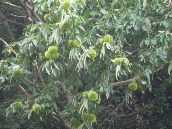 栗の木r (1).JPG