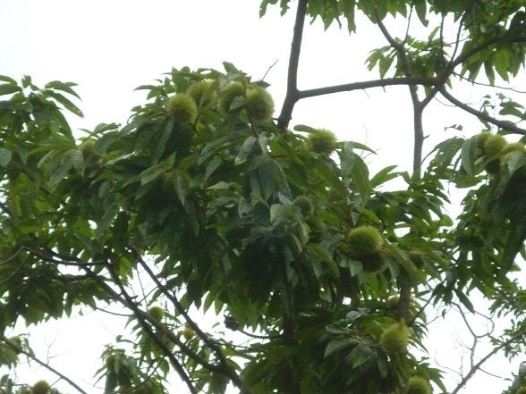 栗の木r (2).JPG