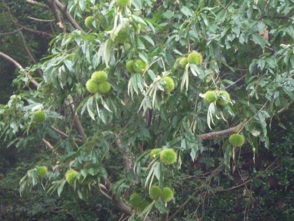 栗の木t (2).JPG